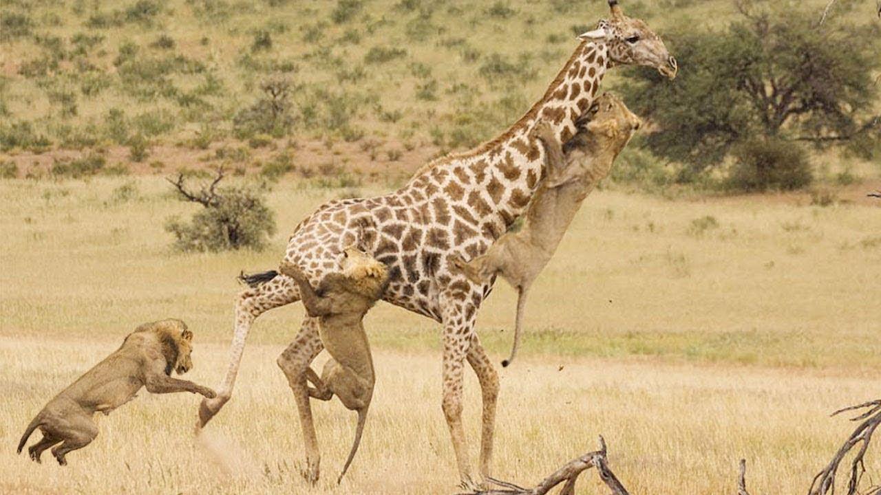 Download Most Amazing Wild Animal Attacks - Lion Attack Giraffe