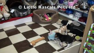 Little Rascals Uk Breeders New Litter Of Beagles