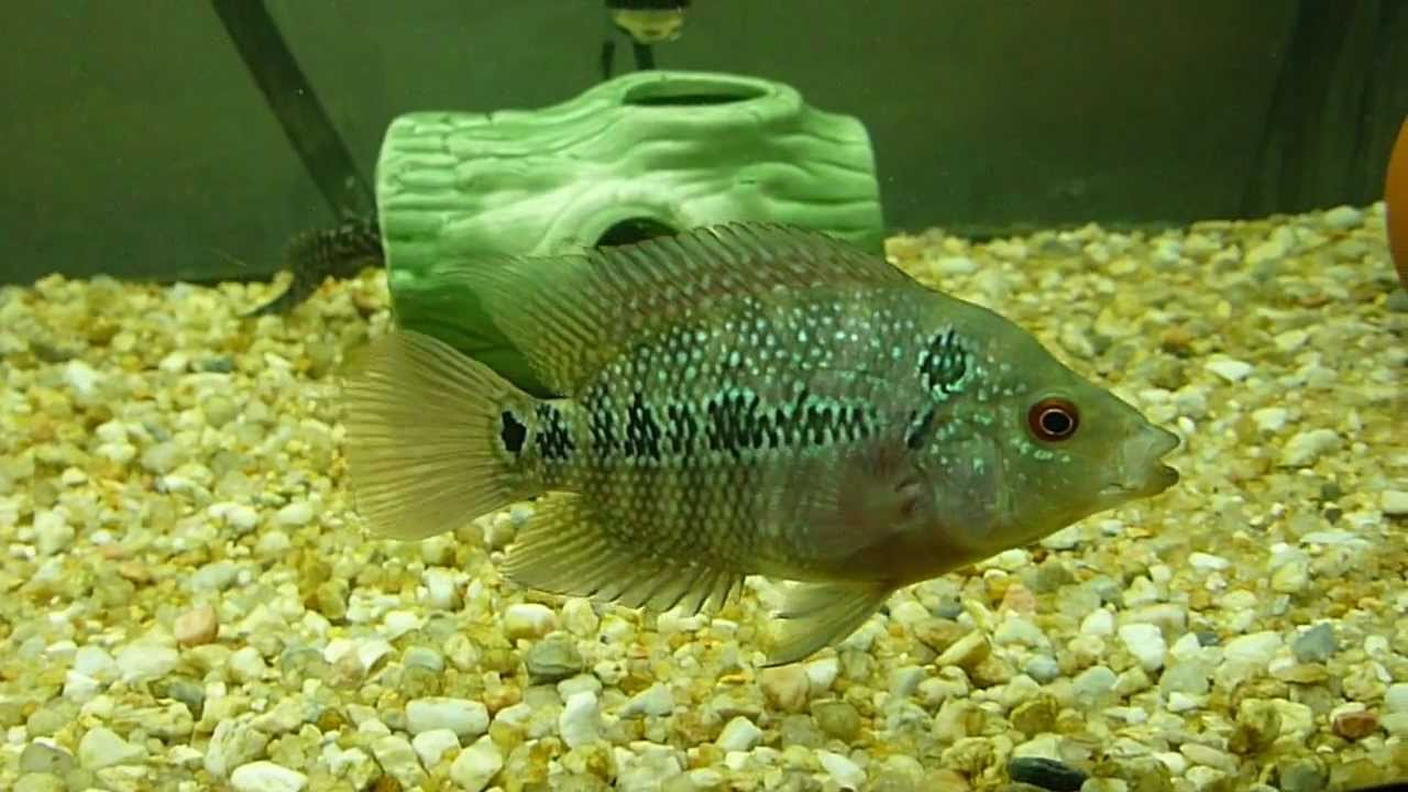 (Flowerhorn) Supreme Gold/Red and Cuban cichlids babies ...