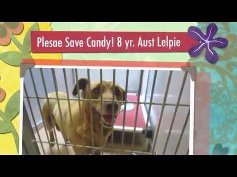 Two Days To Save A Sweet Australian Kelpie Female Shelter Dog!