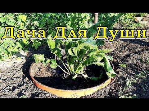Вопрос: Как выращивать хрен?