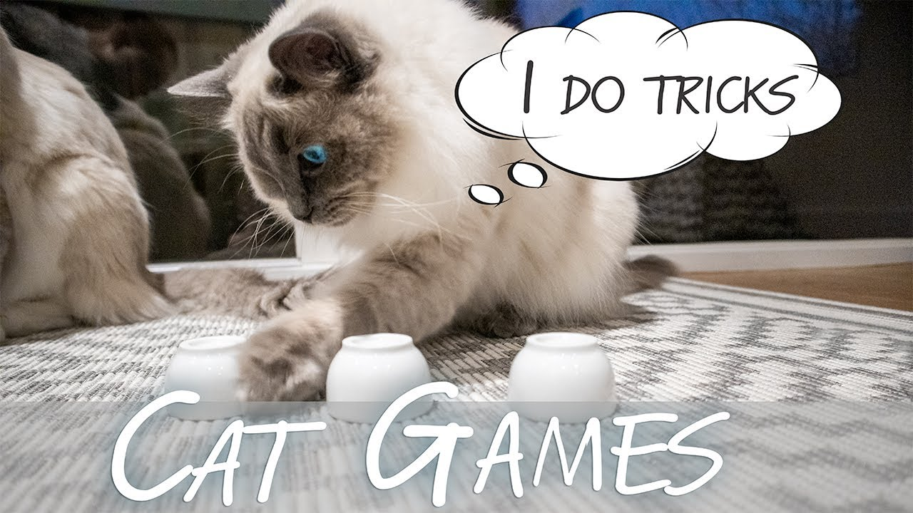 Teaching our cats tricks | 3 CUPS GAME | Ragdolls Pixie and Bluebell