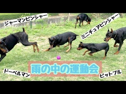 ドーベルマン・ジャーマンピンシャー・ミニチュアピンシャー・ピットブル☆雨の中の運動会!【doberman】
