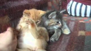 Маленькие котята, 1,5 месяца рождения
