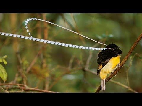 HANYA DENGAN SUARA BURUNG INI Semua Jenis Burung Kicau Liar Datang Ampuh Banget