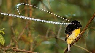 Gambar cover HANYA DENGAN SUARA BURUNG INI semua jenis burung kicau liar datang ampuh banget