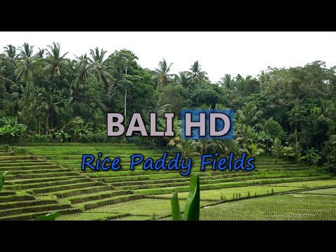 Bali Travel Rice Terrace Paddy Fields Indonesia Beautiful Agriculture Farm Hills Video Stock Footage