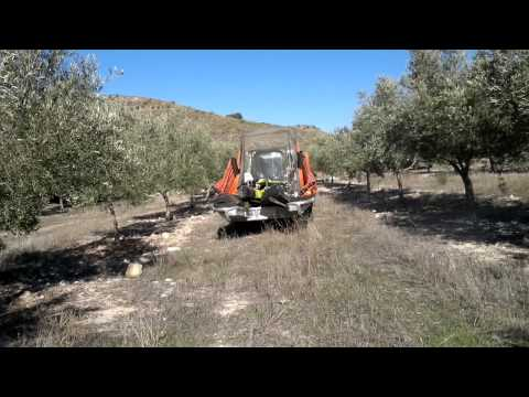 Recolección aceitunas / Harvesting olives