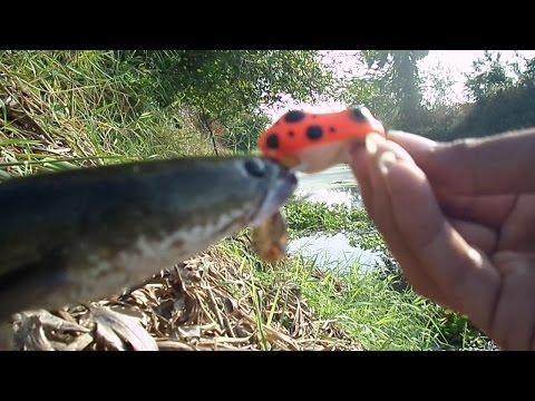 ตกปลาช่อนด้วยกบยาง กัด ส่ง วัด  Lung Yai Thailand