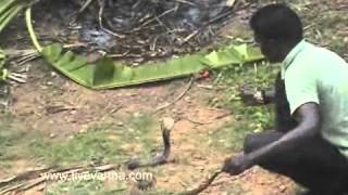 Snake Catcher Vava Suresh in  Punalur