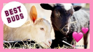 Special Needs Baby Goat and Tiny Bouncy Lamb are the Cutest BFFs