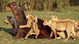 Львы рвут бегемота на куски