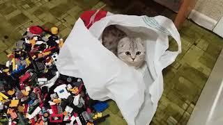 Любимое Место Кошки Хлои - в Пакете 😻 Шотландская Вислоухая Кошка 🐱 Scottish Fold Cat