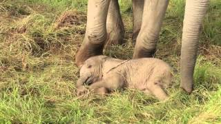 Double rescue of a newborn calf in Amboseli