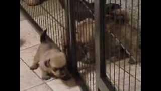 Norfolk Terrier Welpen 1
