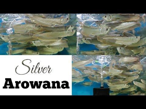 Silver Arowana Kurla Fish Market