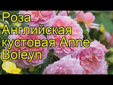 Роза английская кустовая Анна Болейн. Краткий обзор, описание характеристик, где купить саженцы