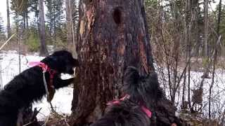 Jagd Terrier And Cairn Terrier Hunting The Squirral