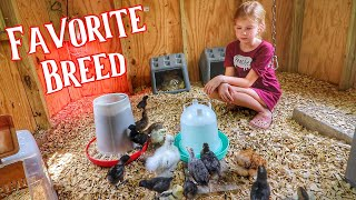 The Breed Of Chicken She's TRULY Passionate About! [Raising Chickens]