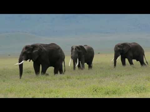 Ngorongoro Conservation Area, Ngorongoro Crater - Bull Elephants greeting each other