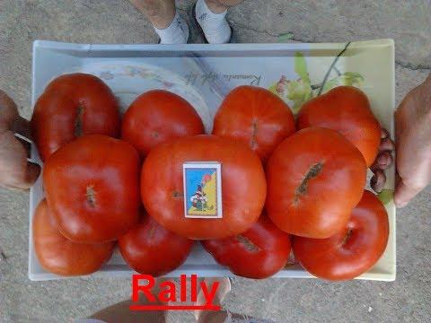 видео: Урожайность  томата  зависит ....