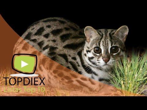 Top 10 Razas de gatos que quizás nunca verás