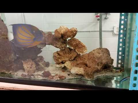 Cleaner Wrasse keeps working...living with three kinds of Angelfish