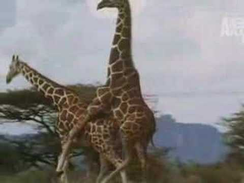Thumbnail: birth of a giraffe