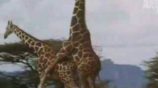 Repeat youtube video birth of a giraffe