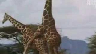 vuclip birth of a giraffe