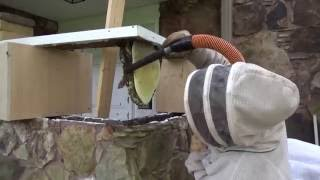 Honey bees removed from a false stone wall