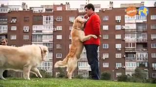 Elige Tu Raza - Golden Retriever- Más Que Perros Y Gatos 9