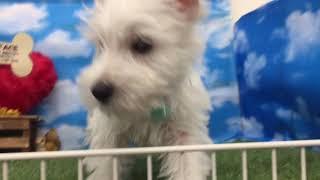 ペットショップ 犬の家 尼崎店 「89912」「ウエスト・ハイランド・ホワ...
