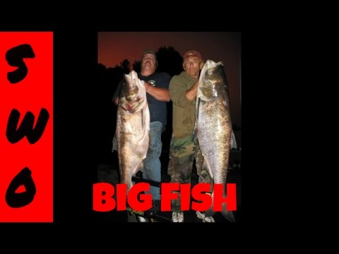 Bowfishing Huge Bighead Carp