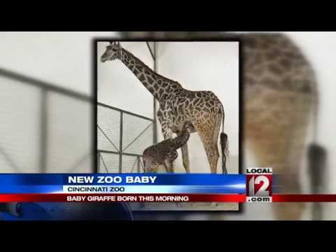Cincinnati Zoo Welcomes Another Baby Giraffe Youtube