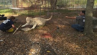 How To Vaccinate Big Cats