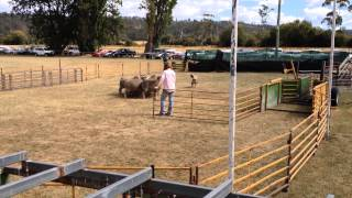 Tasmanian Smithfield yard dog trial