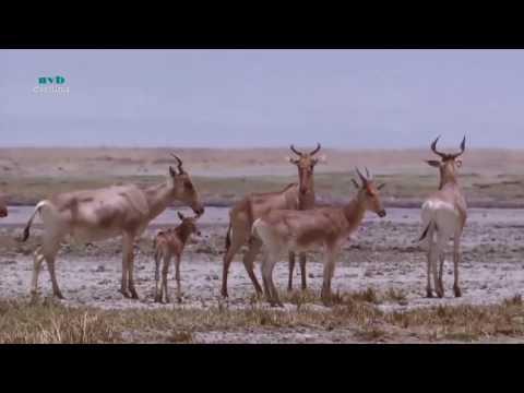 Sư tử và Linh dương Châu Phi - Thiên nhiên hoang dã full HD Thuyết minh