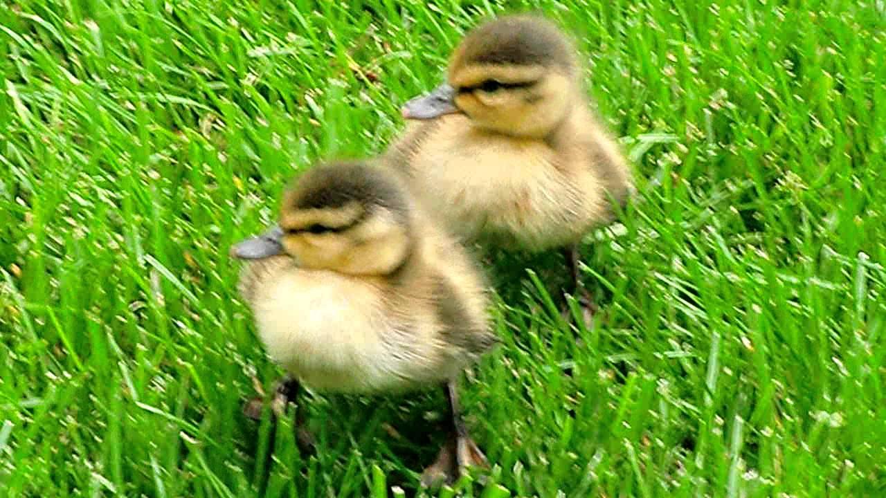 Baby Mallard Ducks In My Yard Youtube
