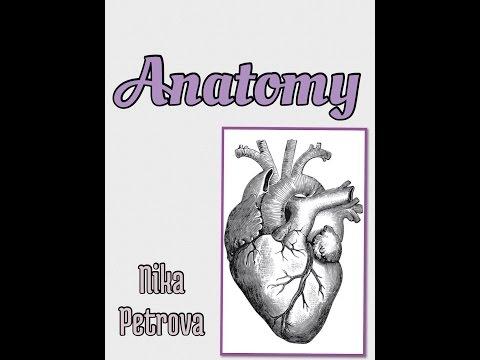 Сердце человека Анатомия Сердца, строение, функции