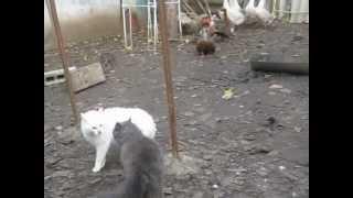 Кошки дерутся  смотрите до конца