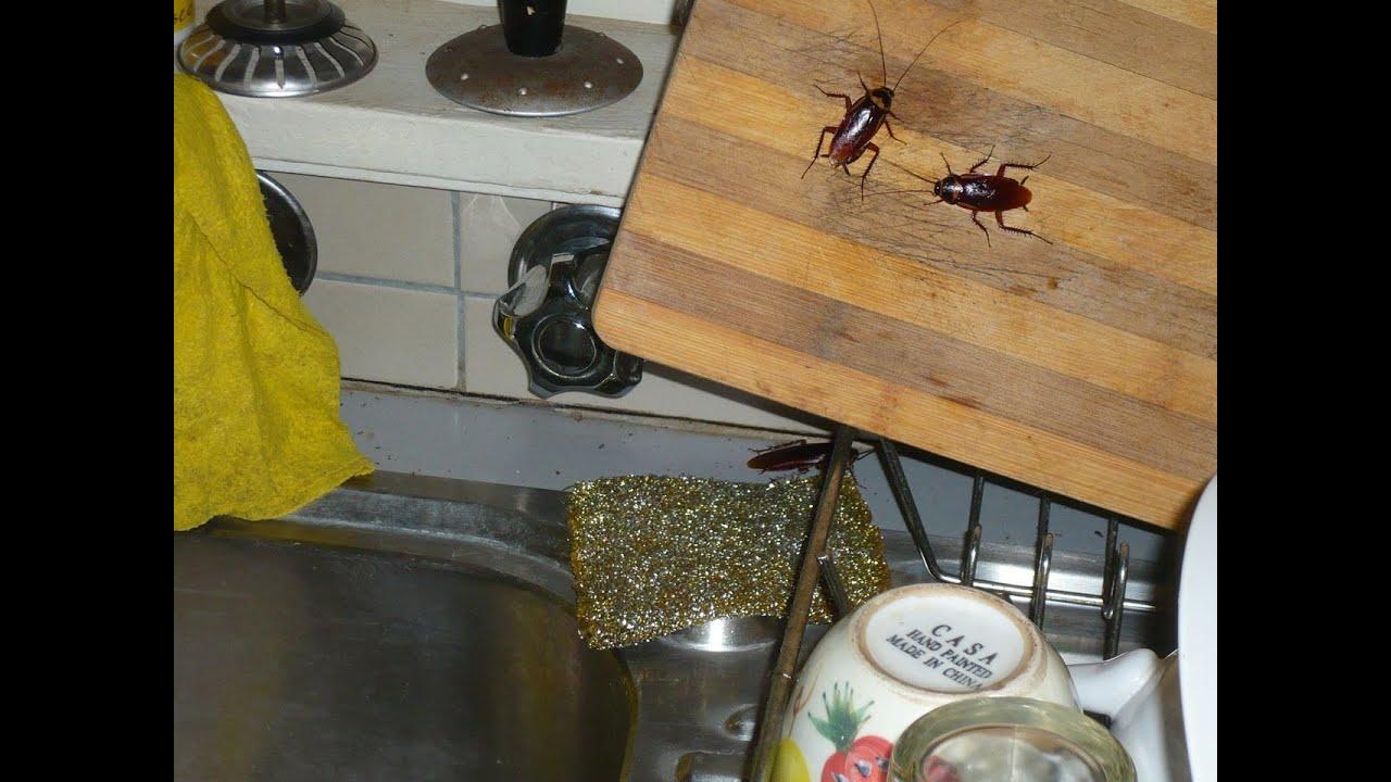 Como eliminar cucarachas y huevos de cucaracha con - Como sacar las moscas de la casa ...