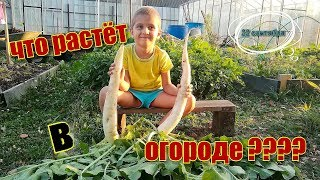 ЧТО РАСТЁТ В ОГОРОДЕ???/ УРОЖАЙ/ 22 сентября/ #огород #урожай #деревня #garden #crop