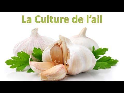 Culture de l'ail : Plantation, entretien et récolte et conservation