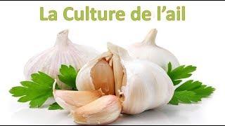 culture de l ail plantation entretien et rcolte et conservation