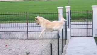 Golden Retriever Jumping