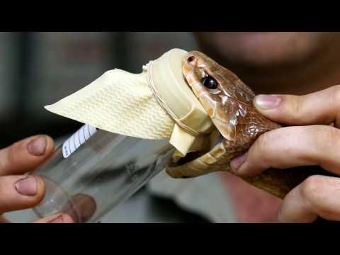 Самая ядовитая змея в мире | Интересные факты