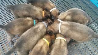 Belgian Malinois Puppies | Milestone