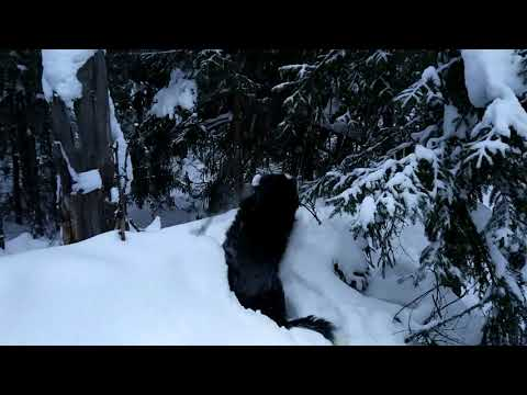 Literally Drowning In Snow. Bernese Mountain Dog