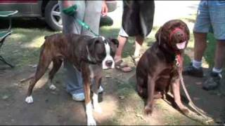 Boxer Dog Camping With Chocolate Lab